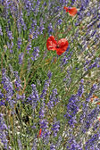 Lavender with poppies, Provence — Stock Photo