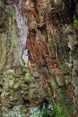 écorce d'un arbre à feuilles caduques — Photo