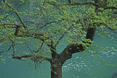 Tree at the source of the river Sorgue — Stock Photo
