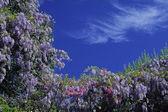 Wisteria, bush in spring, France — Stock Photo