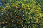 Orange tree in Liguria, Italy — Stock Photo