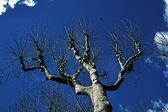 Platanus tree, Provence, Frannce — Stock Photo