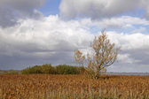 Wetland area with common reed in Germany — Stock Photo