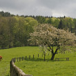 Cherry tree with field in Germany — Stock Photo