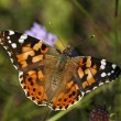 Vanessa cardui, Painted Lady, Butterfly — Stock Photo