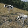 Speckled cow at the Monte Baldo, Italy - Stock Photo