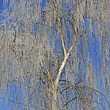 Stock Photo: Birch tree (Betula), Hoar-frost