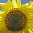 Stock Photo: Helianthus, Sunflower, Marigold