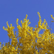 Stock Photo: Forsythix intermedia, bush in spring