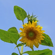 Stock Photo: Sun flower (Helianthus), Marigold