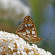 queen of spain fritillary — Stock Photo