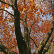 Northern Red Oak in autumn, Germany - Stock Photo