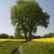 Tree with rape field in Germany — Stock Photo #2153906