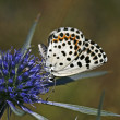 Chequred Blue, Butterfly — Stock Photo