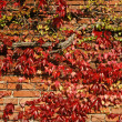 Stock Photo: House with wine (Parthenocissus)