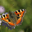 Stock Photo: Small Tortoiseshell (Nymphalis urticae)