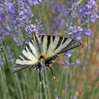 Scarce Swallowtail (Iphiclides) — Stock Photo