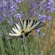 Scarce Swallowtail (Iphiclides) — Stock Photo #2155129