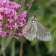 Black-veined White (Aporia crataegi) — Stock Photo