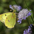 Stock Photo: Berger's Clouded Yellow butterfly