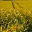 Rape field in spring, Hagen, Germany — Stock Photo