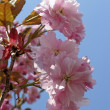 Prunus, Japanese cherry tree in spring — Stock Photo