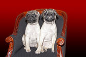 Pugs babys sitting on a chair — Stock Photo