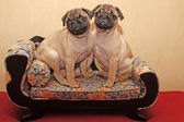 Pugs babys sitting on a sofa — Stock Photo