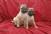 Two ten weeks old female pugs — Stock Photo