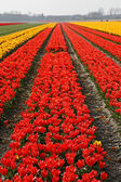Tulip field near Lisse, Netherlands — Stock Photo