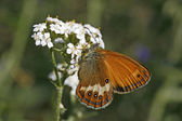 Coenonympha arcania, Perlgrasfalter — Stock Photo