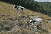 Speckled cow at the Monte Baldo, Italy — Stock Photo