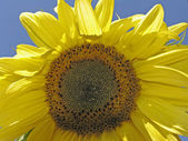 Helianthus, Sunflower, Marigold — Stock Photo