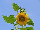 Sun flower (Helianthus), Marigold — Stock Photo