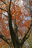 Northern Red Oak in autumn, Germany — Stock Photo