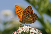 Silver-washed Fritillary — Stock Photo