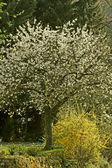Arbre de la cerise à hagen, allemagne — Photo