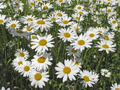 Oxeye daisy (Leucanthemum vulgare) — Stock Photo
