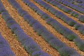 Lavender field near Sault, Provence — Stock Photo
