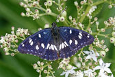 Southern White Admiral (Limenitis reduct — Stock Photo