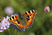 Small Tortoiseshell (Nymphalis urticae) — Stock Photo