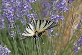 Scarce Swallowtail (Iphiclides) — Stock Photo