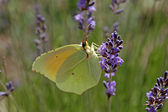 Cleopatra butterfly, Gonepteryx cleopatr — Stock Photo