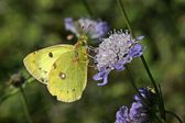 Berger's Clouded Yellow butterfly — Stock Photo