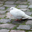 White dove — Stock Photo #1536258