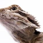 The head of a lizard. — Stock Photo