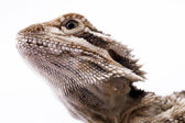 The head of a lizard. — 图库照片