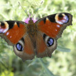 Butterfly — Stock Photo #1636286