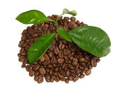 Coffee tree — Stock Photo