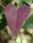 Heart leaf — Stock Photo